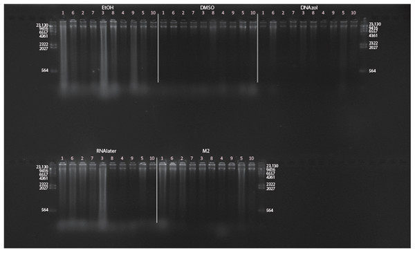 Gel image of extracted genomic DNA for the blue crab, Callinectes sapidus for preservation Temperature Experiment.