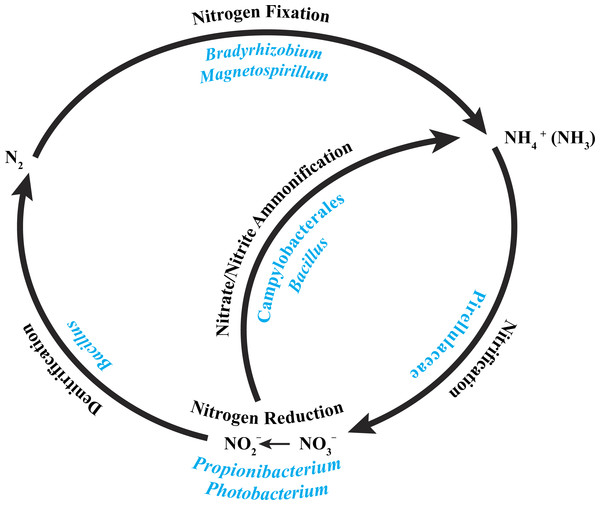 Core bacterial groups potential roles within the nitrogen cycle.