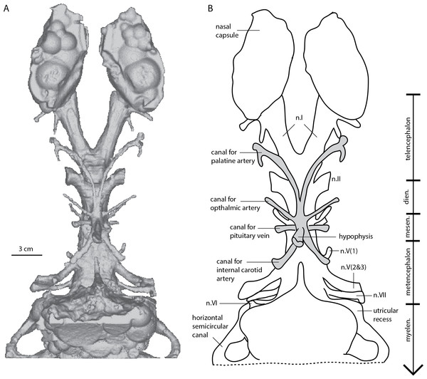 Dipnorhynchus sussmilchi cranial endocast in ventral view.