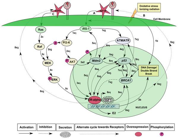 IGF-1R and EGFR signaling pathway.