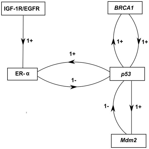 ER-α associated BRN.