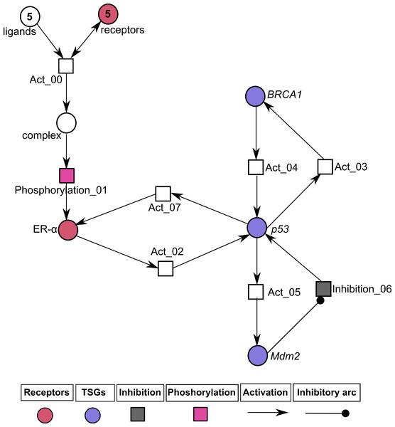 Illustration of the normal pathway of ER-α associated Hybrid Petri Net (HPN) model.