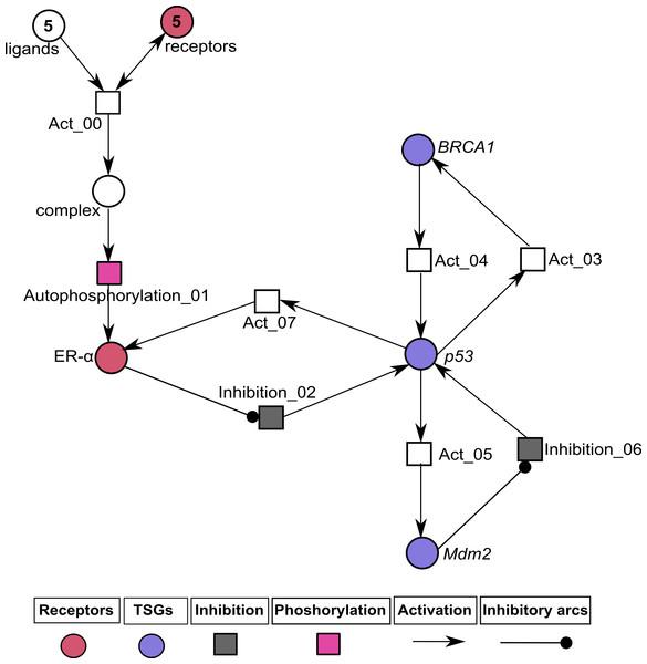 Illustration of the pathological pathway of ER-α associated HPN.