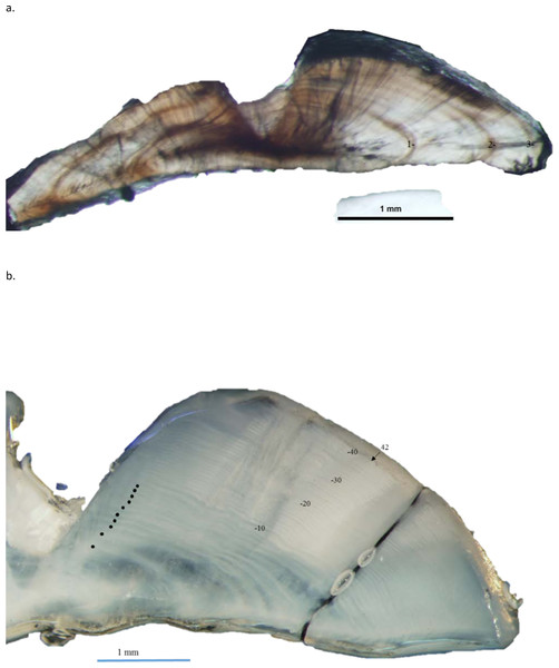 Dorso-ventral section from otolith of schoolmaster (Lutjanus apodus): (A) 245 mm TL, age 3 yrs, and (B) 440 mm TL, age 42 yrs.