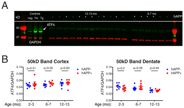 ATF4 as a pharmacodynamic marker in nontransgenic and hAPP-J20 mice.