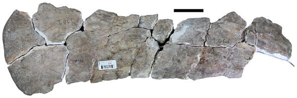Scapular blade (IVPP V156B).
