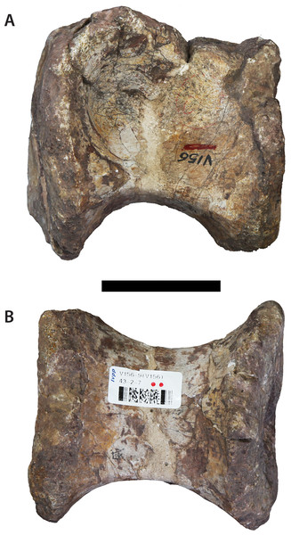 ?Mid-anterior dorsal centrum (IVPP V156B).