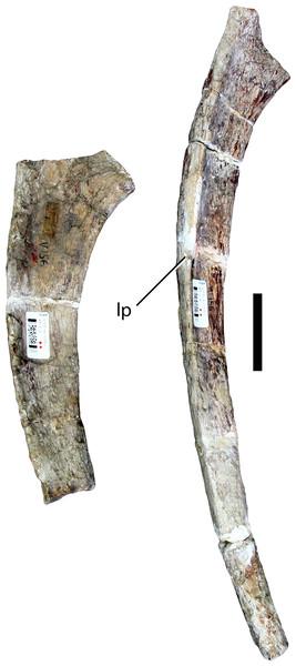 Dorsal ribs (IVPP V156B).