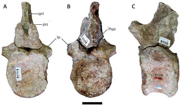 Anterior caudal vertebra (IVPP V156B).