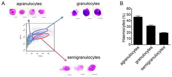 Flow cytometric analysis and May-Grunwald-Giemsa (MGG) staining of haemocytes from C. gigas.