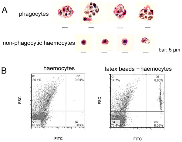 Morphological identification of phagocytes from C. gigas.