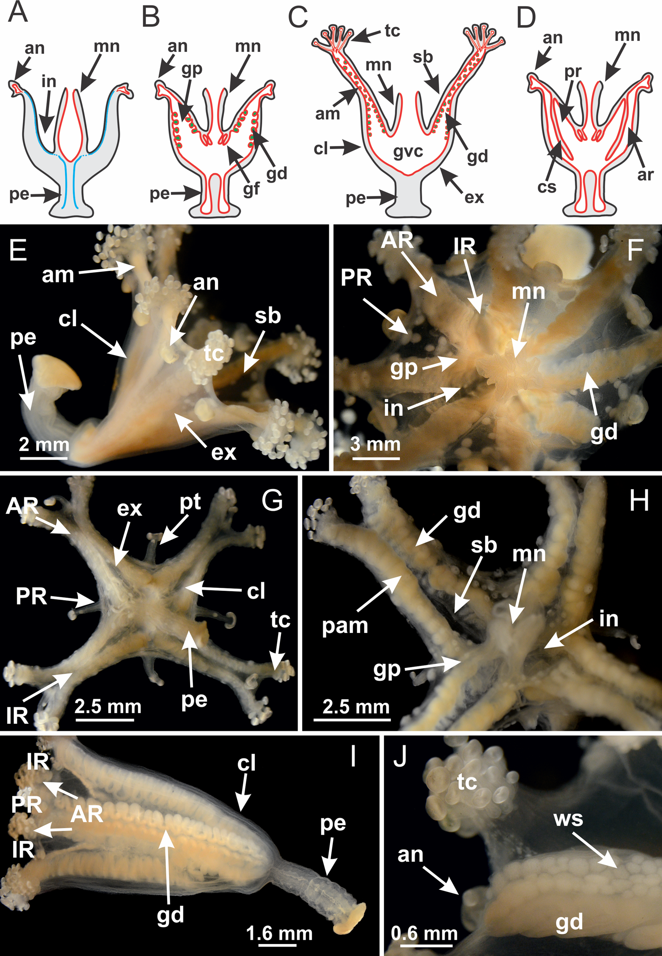 Comparative internal anatomy of Staurozoa (Cnidaria), with ...