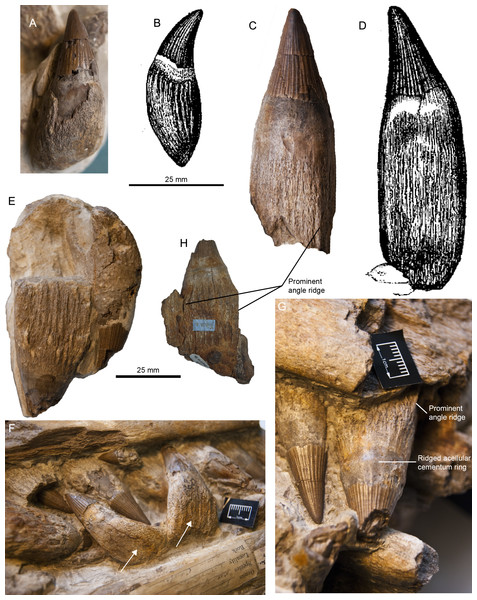 Syntypic material of Pervushovisaurus campylodon (Carter, 1846a).