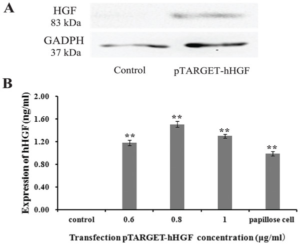 The hHGF protein expression in fibroblasts after transfection with the pTARGE T-hHGF plasmid.