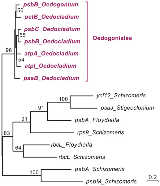 Phylogenetic relationships among the chloroplast group IIA introns of Oedocladium and other representatives of the OCC clade.