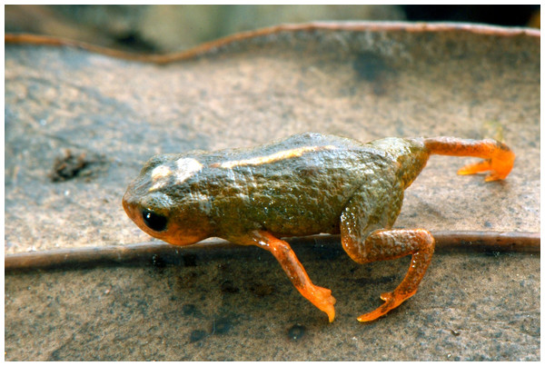 A new species of Brachycephalus from Santa Catarina, southern Brazil