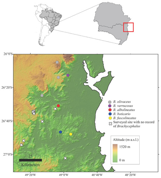 Map indicating the location of the type locality of Brachycephalus albolineatus(red), as well as other species of the genus that are found in the region (state of Santa Catarina, souhtern Brazil).