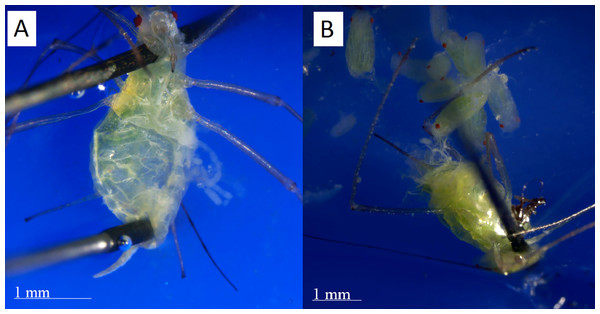 Dissections of post reproductive and reproductive aphids.