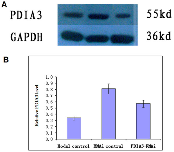 Western blot analysis of PDIA3 in IBS models after PDIA3 knockdown with RNAi.