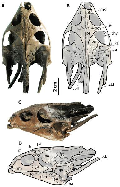 Skull of Palaeoamyda messeliana SMF ME 1211.