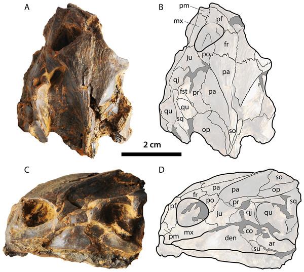 Skull of Palaeoamyda messeliana WDC-C-MG-310.