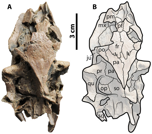 Skull of Palaeoamyda messeliana WDC-C-MG-311.