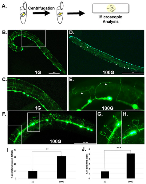 In 100G, hypergravity induces axonal defects in DD/VD motor neurons.