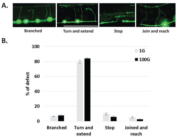 Qualitative characterization of axonal defects in 1G and 100G hypergravity exposed animals.