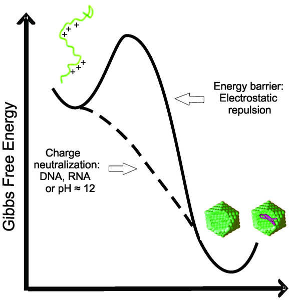 Free energy diagram representing the energy barrier between the disordered state of C124 to oligomeric state (empty capsid or nucleic acid loaded capsid).