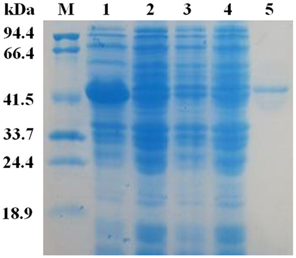 SDS-PAG analysis of the recombinant EglC22b stained with Coomassie blue.