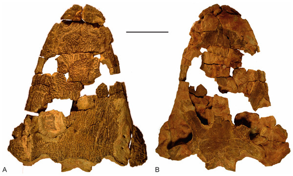 The skull of Metoposaurus krasiejowensis (UOPB 01029) from the Late Triassic of Poland.