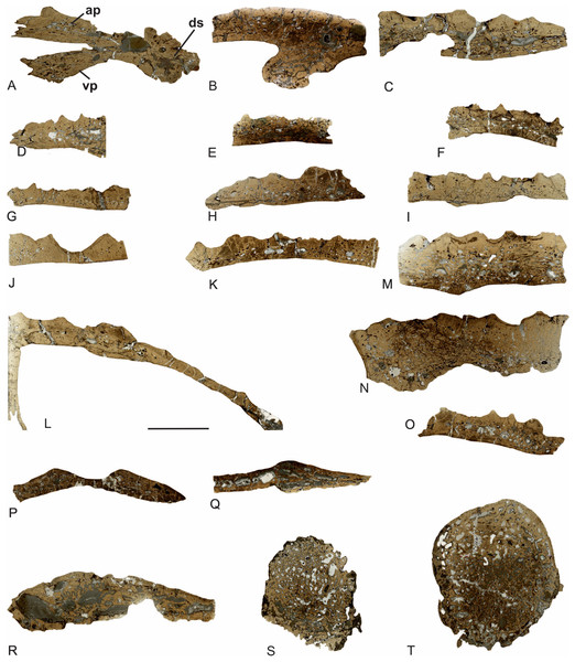 General microanatomy of the skull bones of Metoposaurus krasiejowensis (UOPB 01029) from the Late Triassic of Poland.