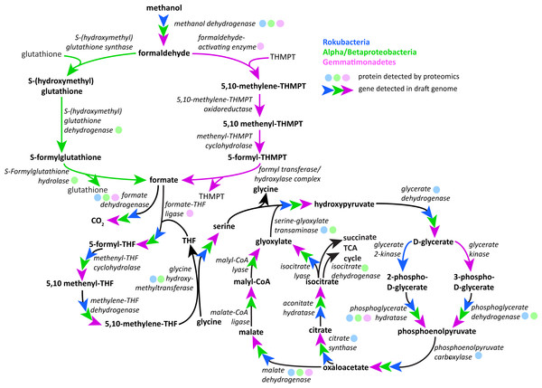 Putative active methylotrophy pathways in Rokubacteria, Proteobacteria, and Gemmatimonadetes.