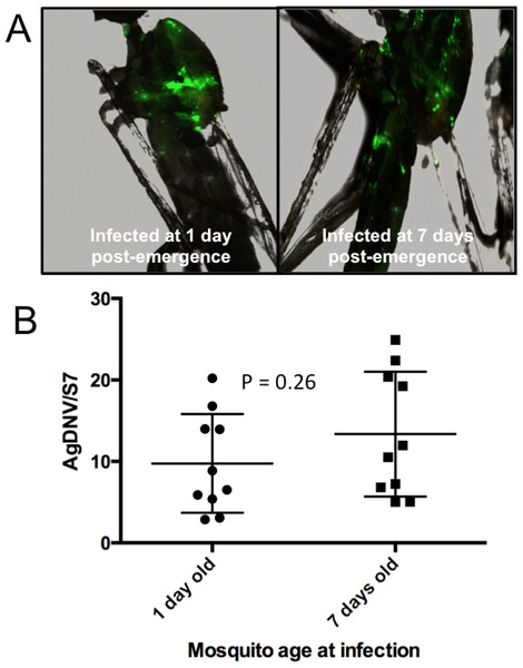 Effect of mosquito age at infection on AgDNV replication.