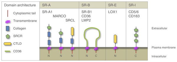 Domain architecture of vertebrate SRs relevant to this study.