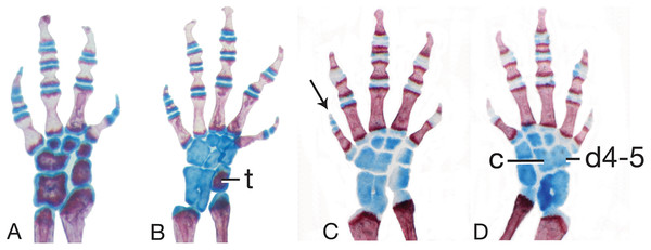 Limb skeletal morphology and variation.