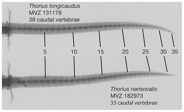 Radiographs of tails of two adult Thorius.