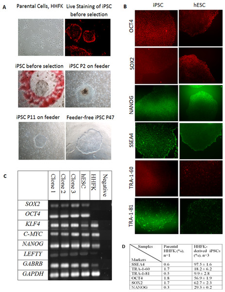 Reprogramming of Human Hair Follicular Keratinocytes (HHFKs) into iPSC and characterization of iPSC.