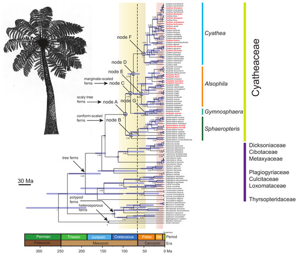 Chronogram of the Cyatheaceae and other tree fern lineages based on the calibration method with a Yule speciation model for the combined plastid DNA (rbcL, atpA, atpB, accD-rbcl) complete dataset.