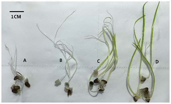 Morphology of Zostera marina L. seedlings after six weeks (bar represents 1 cm) at 5 °C.