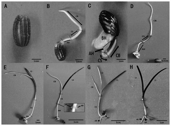 Metamorphosis of Zostera marina L. seeds and seedlings during and after germination.