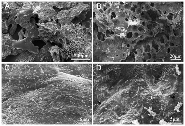 Scanning electron micrographs of okara and okara-immobilized L. plantarum 70810 cells.
