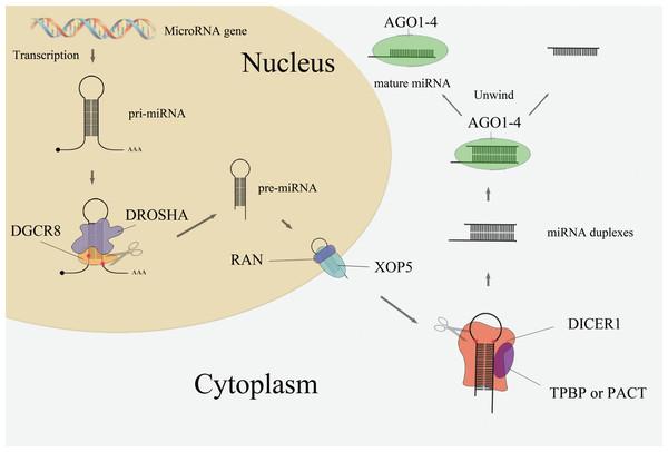MiRNA biogenesis pathway.