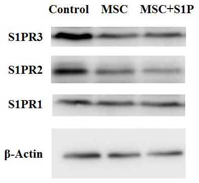 S1P receptors expression in HPAECs treated with MSCs.