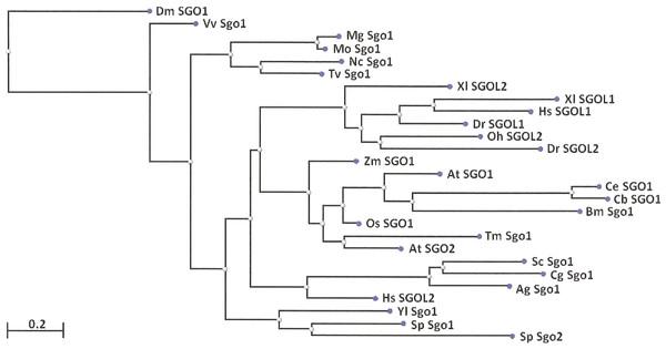 Phylogenetic tree for 27 shugoshins.