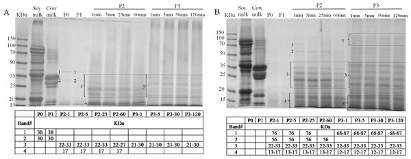 Sodium dodecyl sulfate polyacrylamide gel electrophoresis (SDS-PAGE) analysis of digested samples before the GIS digestion (P0), during buccal (P1), gastric (1 min: P2-1, 5 min: P2-5, 25 min: P2-25, 60 min: P2-60) and duodenal (1 min: P3-1, 5 min: P3-5, 30 min: P3-30, 120 min: P3-120) phases of in vitro GIS digestion.