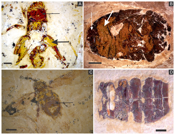 (A) orthopteran GP/1E 7105. (B) hemipteran GP/1E 8440. (C) blattodea GP/1E 9137. (D) specimen GP/1E 6820, cuticle of an undetermined insect.