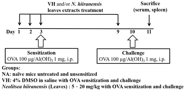 Protocol of administration of N. hiiranensis and ovalbumin (OVA) sensitization and challenge in BALB/c mice.