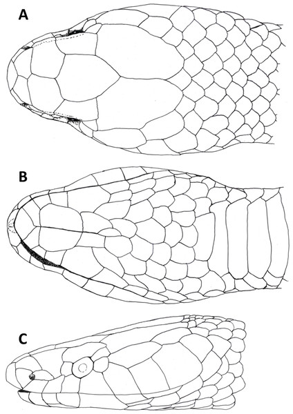 Dorsal (A), ventral (B) and lateral (C) views of head of female holotype of Tantilla tjiasmantoi sp. nov. from La Libertad, Peru (CORBIDI 7726).