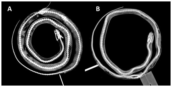 X-ray photographies of body of Tantilla tjiasmantoi sp. nov. from La Libertad, Peru (needle marks the cloaca): female holotype CORBIDI 7726 (A) and male paratype ZFMK 95238 (B).